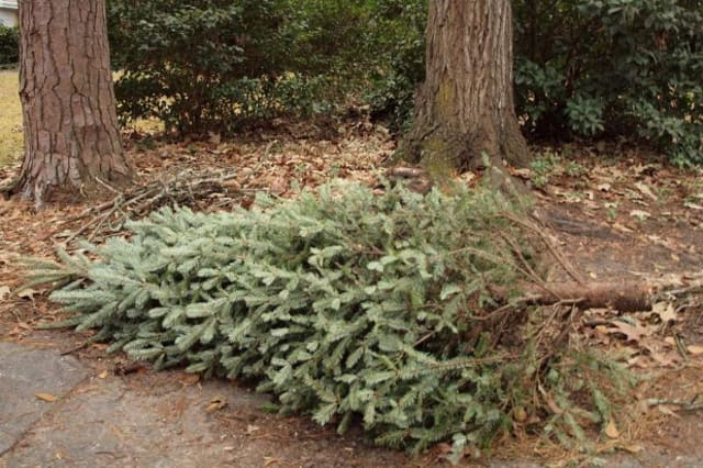 Christmas trees should be placed curbside without ornaments or wrapping for collection in Fairfield the next few weeks.